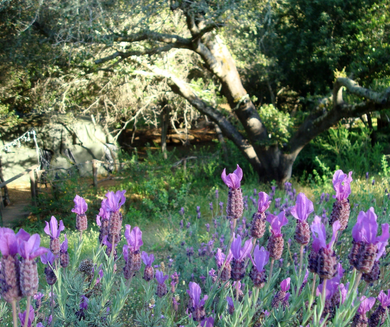 Woodlands Sanctuary lavender fields