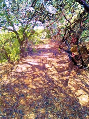 The manzanita pathway before devastation
