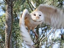 One of the barn owls