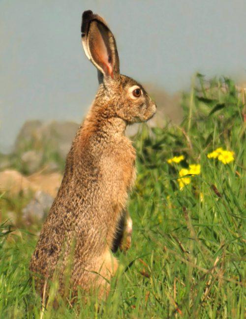 The Hare GoddessWenet