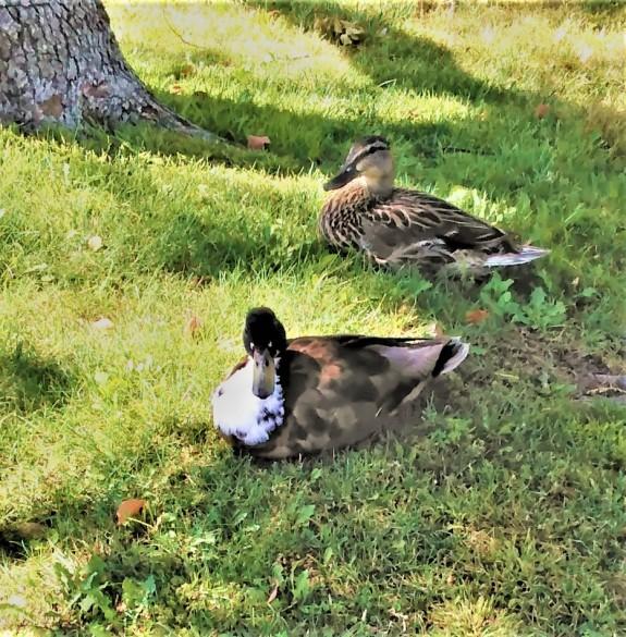 Sanctuary ducks