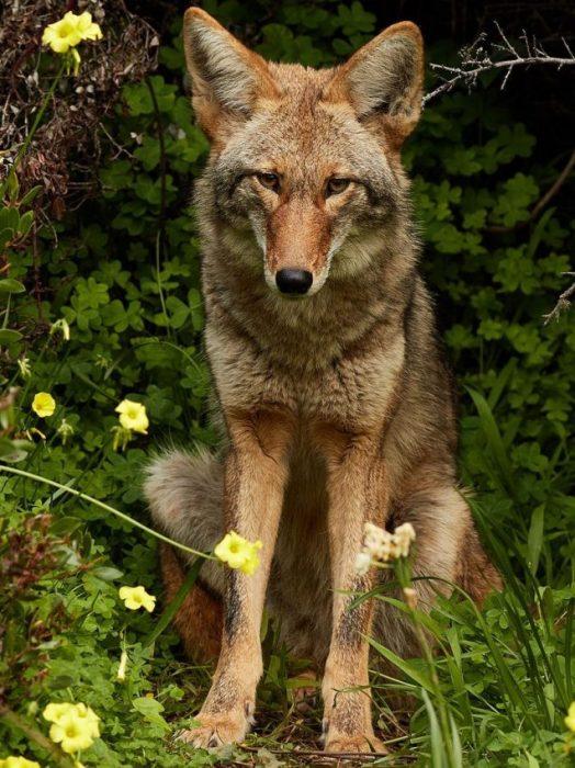 Ap-uat the Wolf