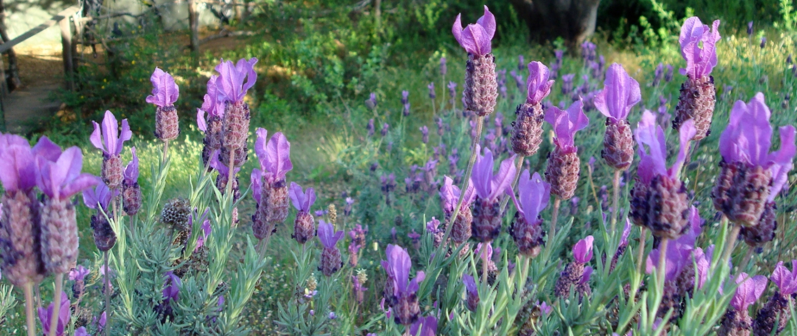 lavenderfied