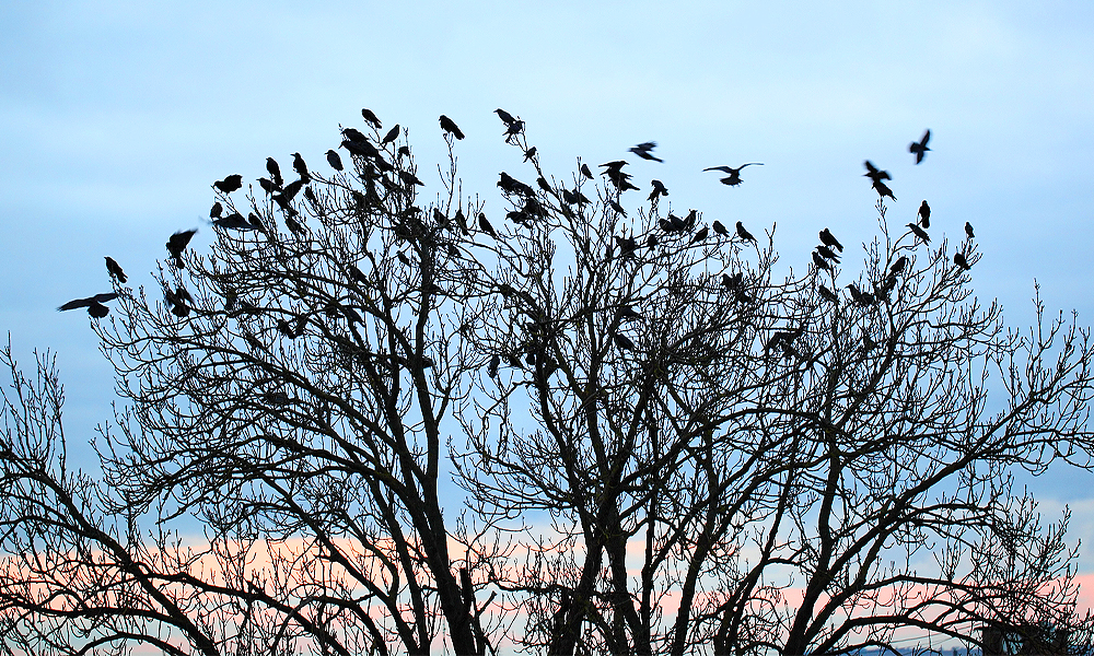 why-do-crows-gather