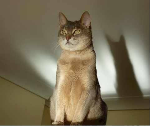 abyssinian-cat-feline-egyptian